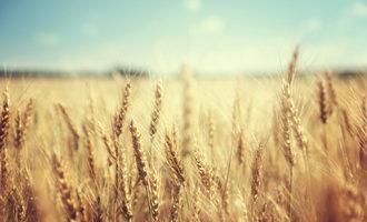 Wheat adobestock 74641866 e