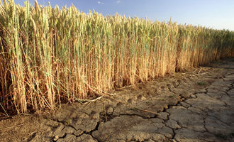Wheat drought adobestock 24231357 e