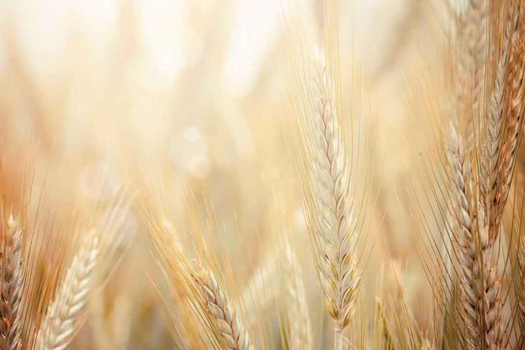 soft wheat
