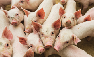 African swine fever infection pace slows pigs e aug