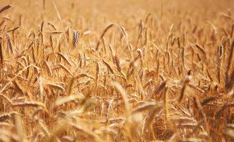 Gmr wheat field photo cred adobe stock e aug