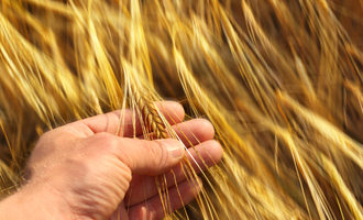 Hand holding wheat photo cred adobestock e