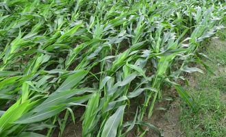 Wind damaged corn photo cred adobestock 217370851 e