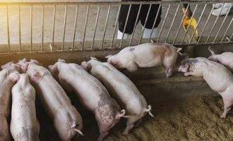 Pigs adobestock 285906155 e
