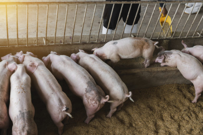 pigs eating feed