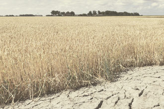 Wheat drought adobestock 277757869 e
