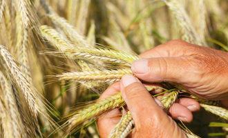Wheat inspection photo cred adobestock jochen netzker e1