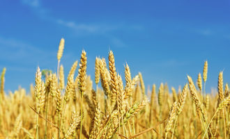 Wheat adobestock 61259042 e1
