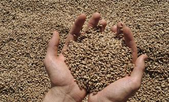 Wheat grain adobestock 86732566 e