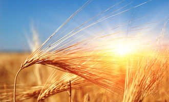 Wheat in sun photo cred adobe stock e