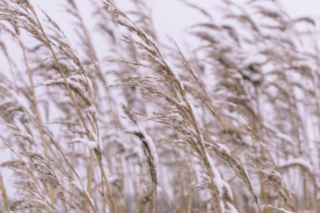 snow on wheat