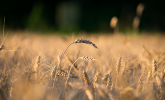 Wheat field focus photo cred adobe stock e