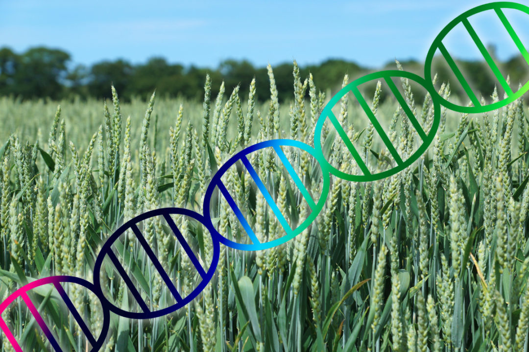 wheat genome