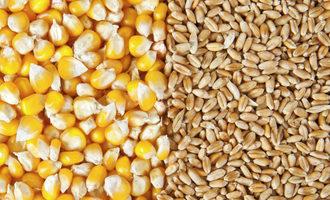 Corn wheat adobestock 51798887 e