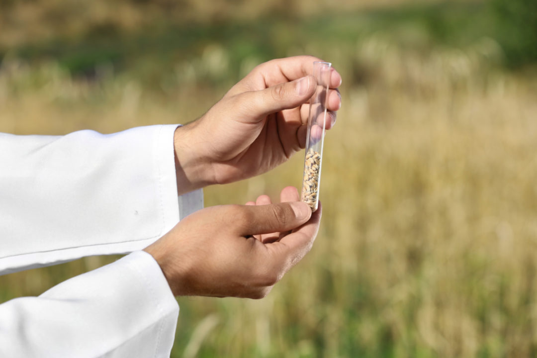 wheat GMO research