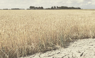 Wheat drought adobestock 277757869 e