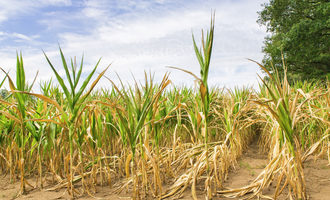 Corn drought  adobestock 216646531 e