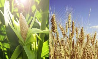 Corn and wheat photo adobe stock e