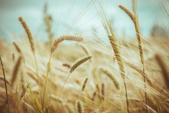 Wheat adobestock 96940909 e