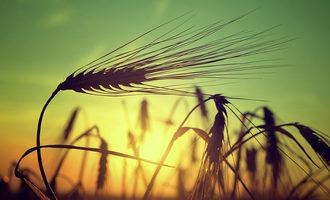 Barley photo cred adobe stock e