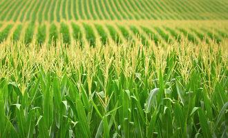 Corn photo cred adobestock e