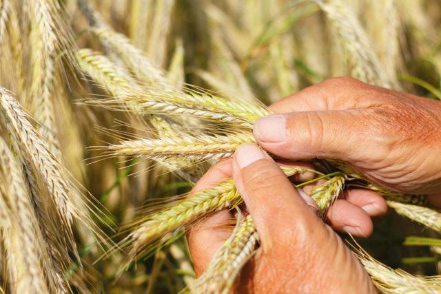 Wheat inspection photo cred adobestock jochen netzker e