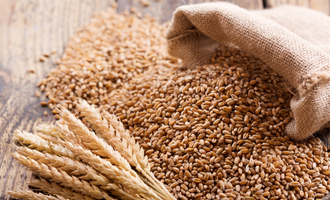 Wheat stalks and kernels photo cred adobe stock e