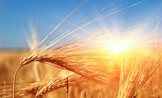 Wheat in sun photo cred adobe stock e