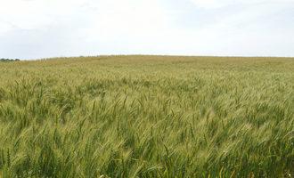 Wheat adobestock 114071477 e