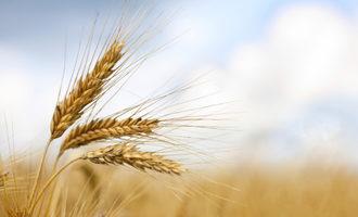 Wheat photo cred adobestock e
