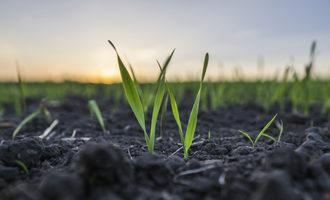 Wheat planting photo cred adobe stock e