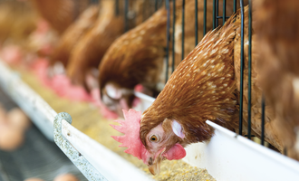 Global feed output rises 1 in 2020 chicken feb e