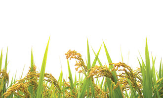 Rice shutterstock nov 2014 e