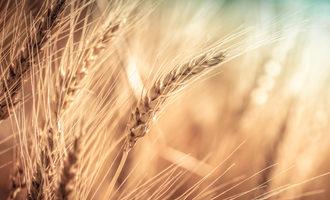 Wheat eaves photo adobe stock e