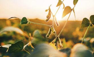 Soybean adobestock 169688620 e
