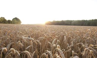 Bayer wheat field photo cred bayer e