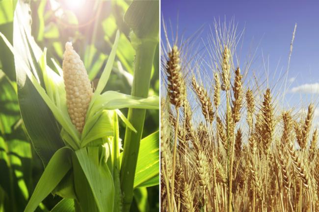 Kenya corn and wheat