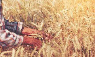 Wheat research photo cred adobe stock e