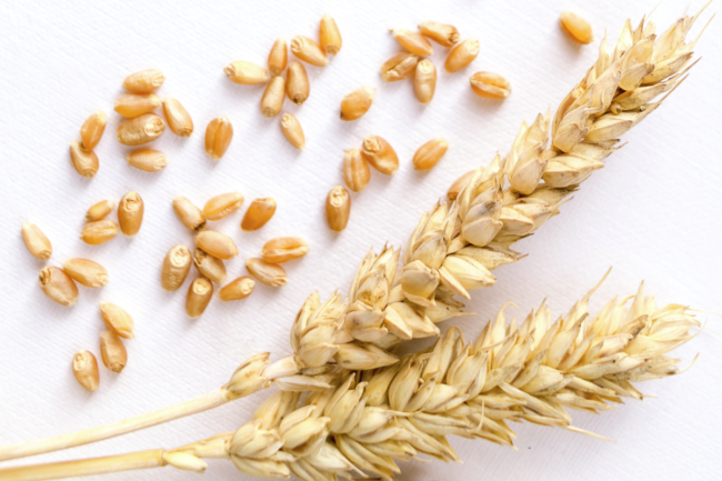 wheat stalks and kernels