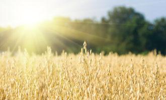 Wheat adobestock 130820284 e