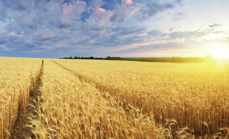 Wheat adobestock 62593835 e