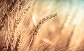 Wheat eaves photo adobe stock e