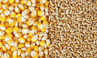 Corn wheat adobestock 51798887 e