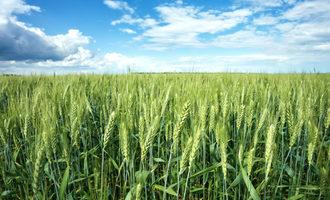 Spring wheat photo cred adobe stock e