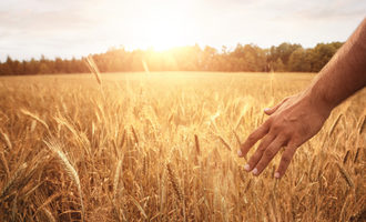 Wheat organic photo cred adobe stock e