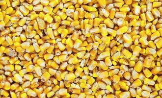Corn adobestock 180247328 e
