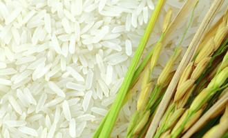 Rice adobestock 81511901 e