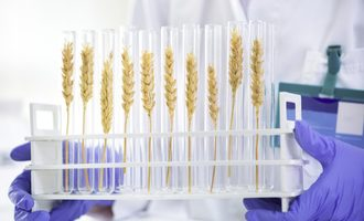Wheat in test tubes photo cred adobestock e