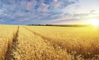 Wheat adobestock 62593835 e