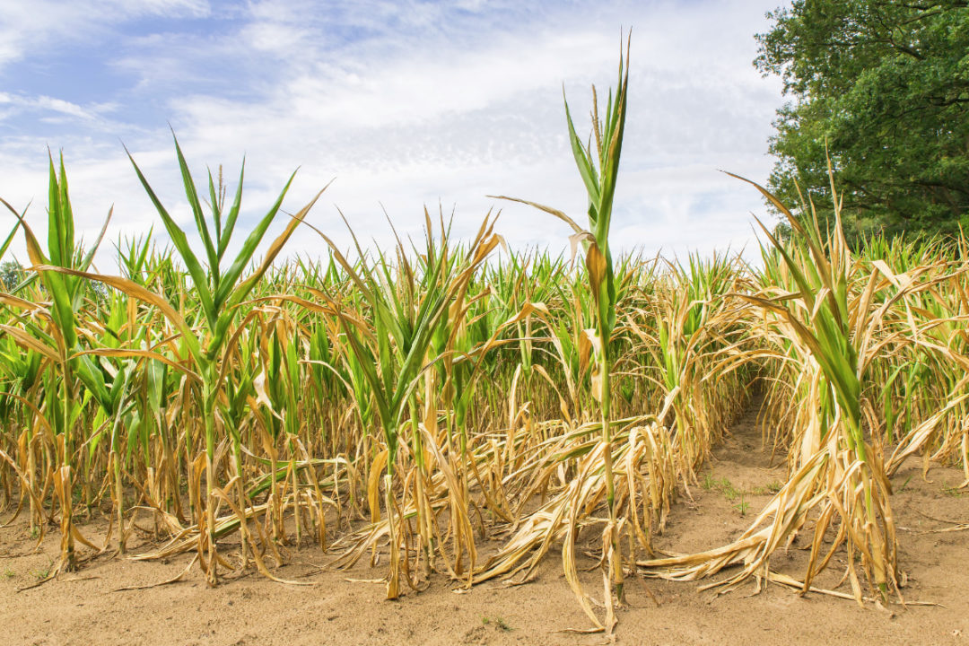 corn growing in dry conditions